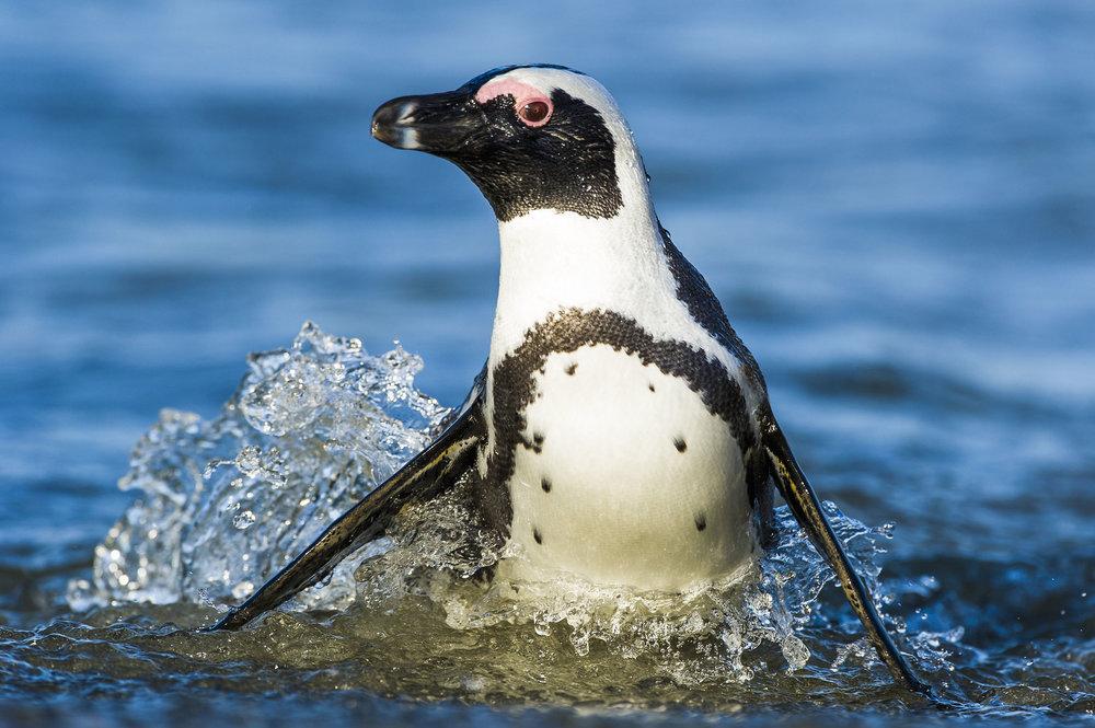 001_African Penguin_©PeterChadwick_AfricanConservationPhotographer.jpg