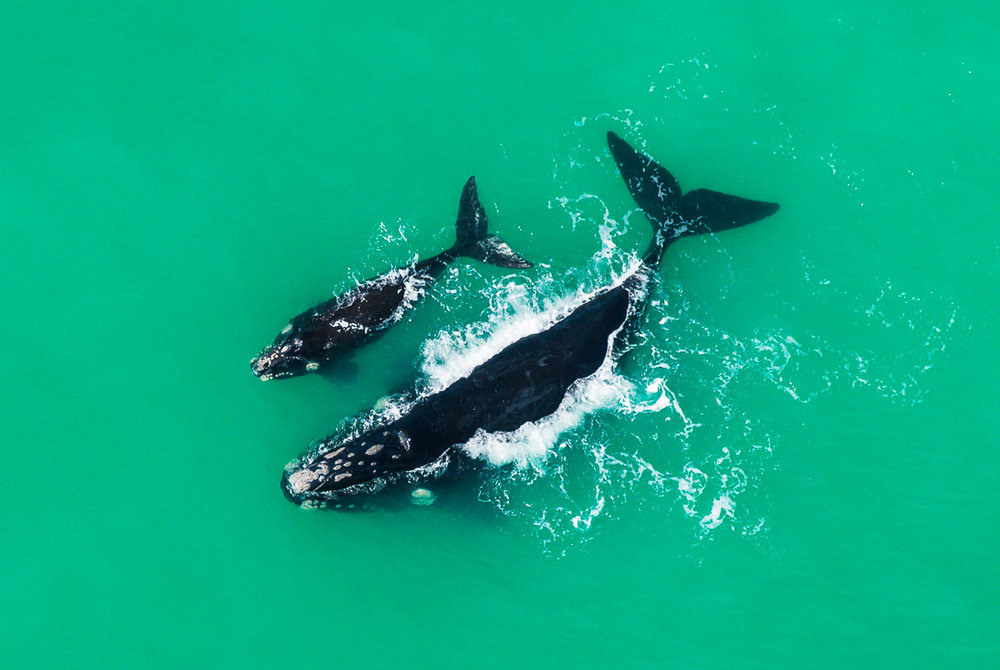 001_Southern Right Whales_PeterChadwick_AfricanConservationPhotographer.jpg