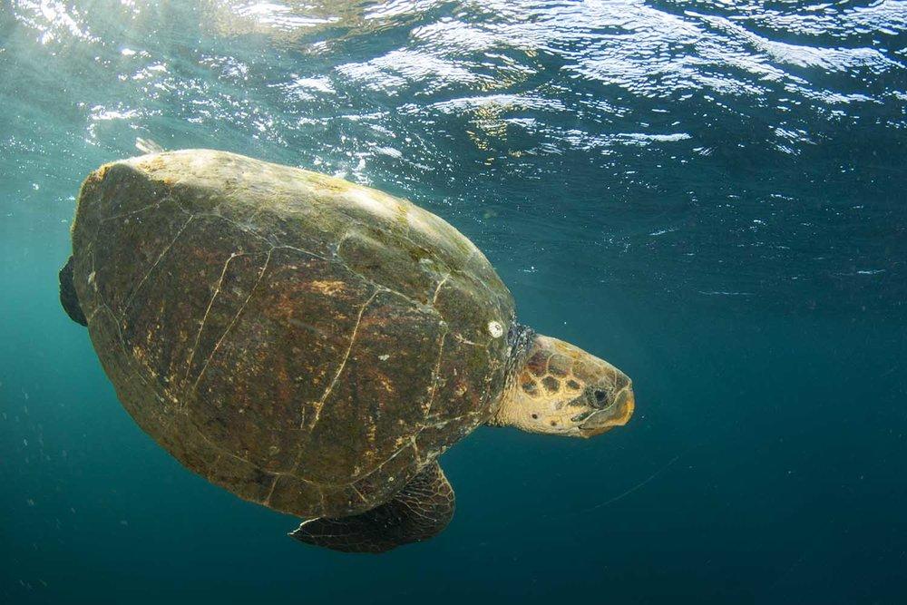 Green turtle (Steve Benjamin)