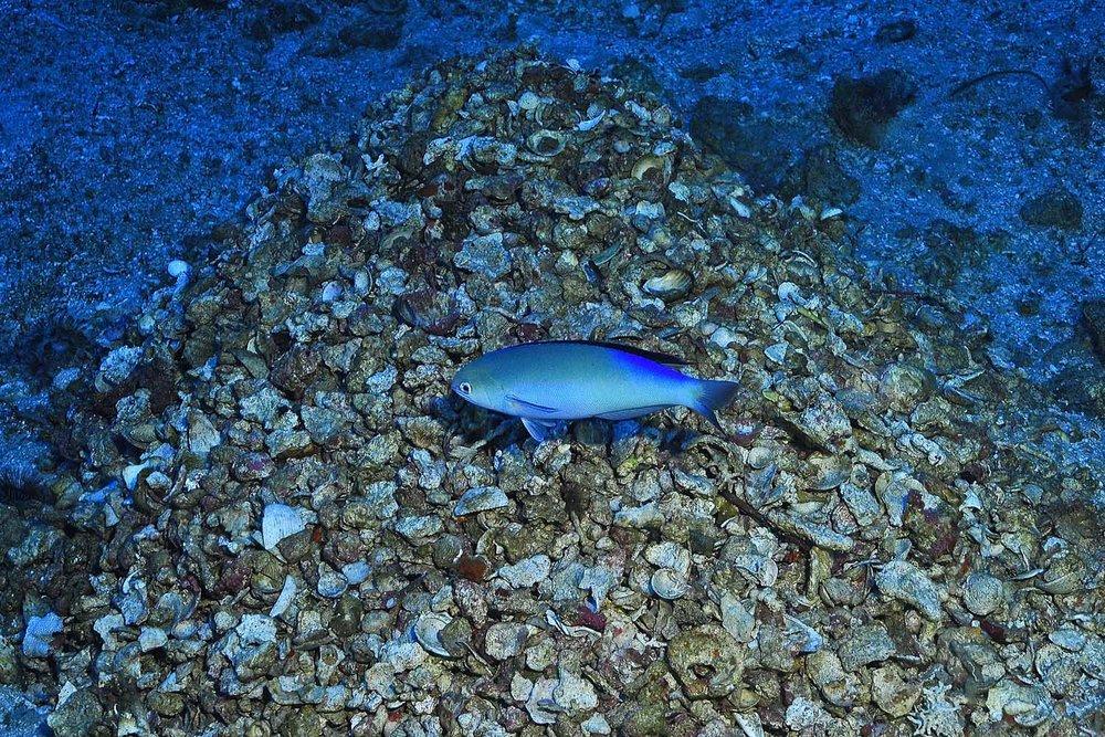 discover hoplolatilus fronticinctus.jpg