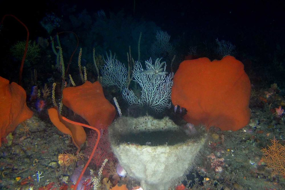 Cup sponges and corals