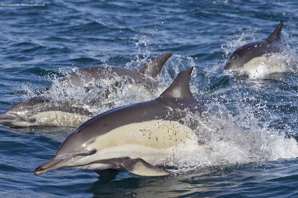 Common dolphins (Steve Benjamin)