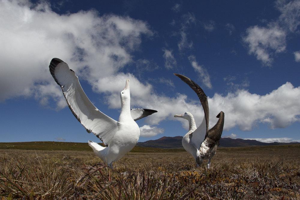 wandering_albatrosses.jpg