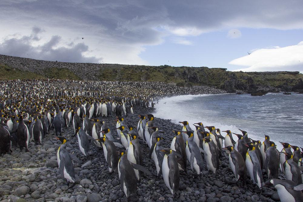 King penguins come ashore at Kildalkey Bay (Otto Whitehead)