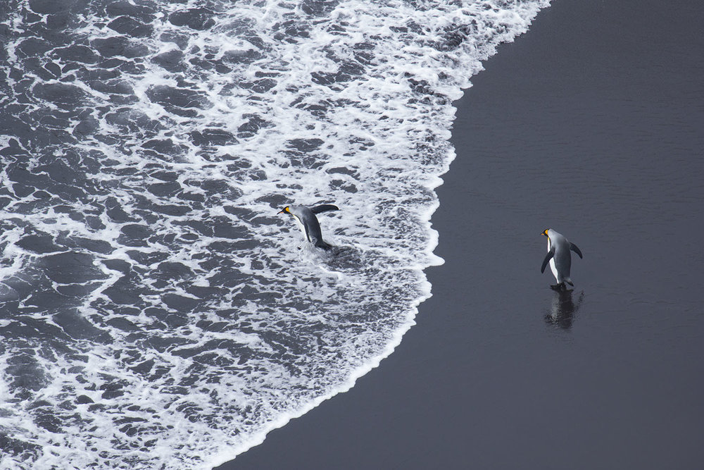 King penguins leave to sea at Ship's Cove - a volcanic black sand beach (Otto Whitehead)