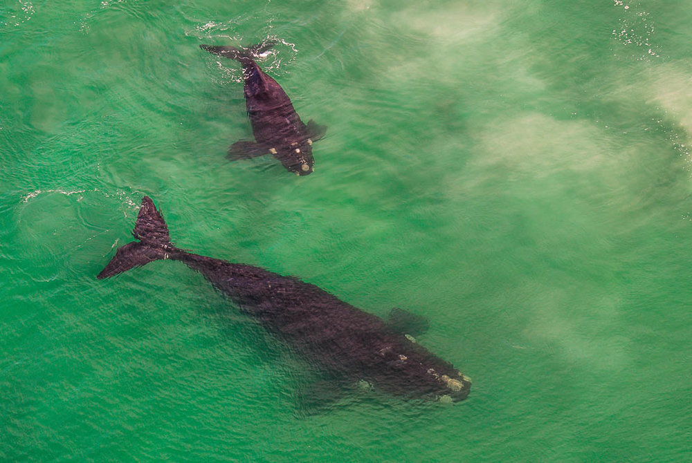 002_Southern Right Whales_PeterChadwick_AfricanConservationPhotographer.jpg
