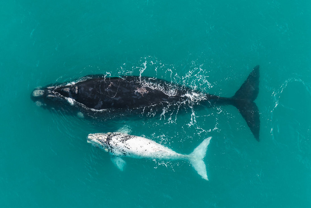 004_Southern Right Whales_PeterChadwick_AfricanConservationPhotographer.jpg