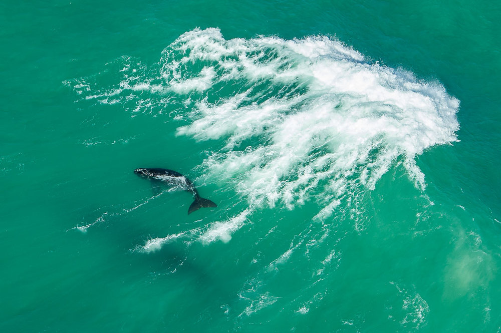 011_Southern Right Whales_PeterChadwick_AfricanConservationPhotographer.jpg