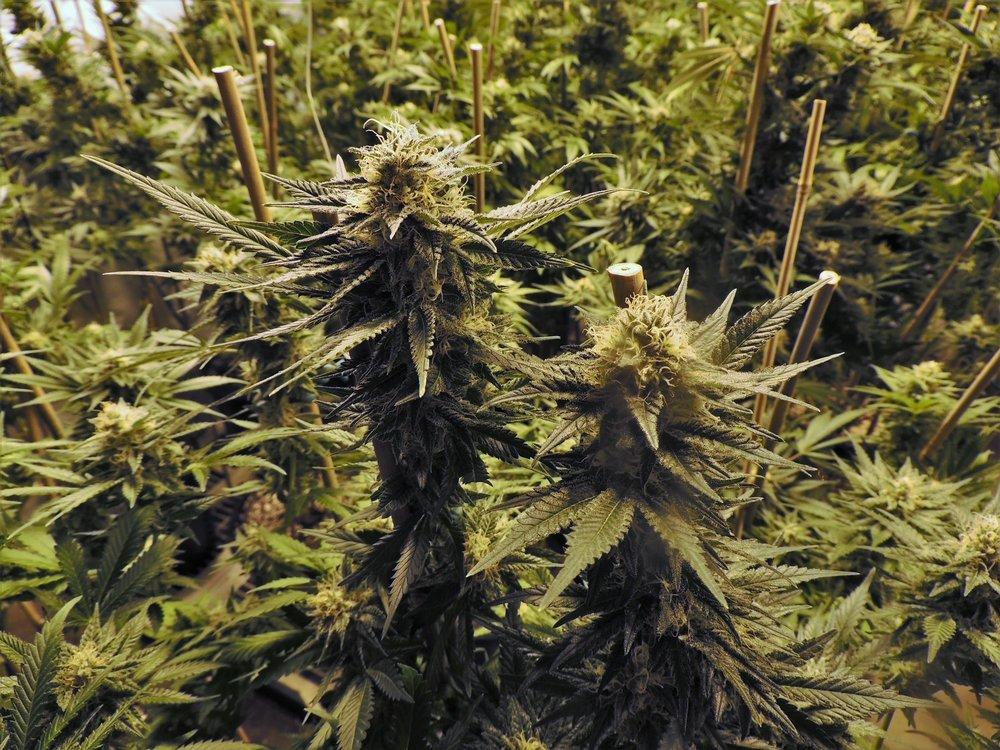 marijuana-1281540.jpg