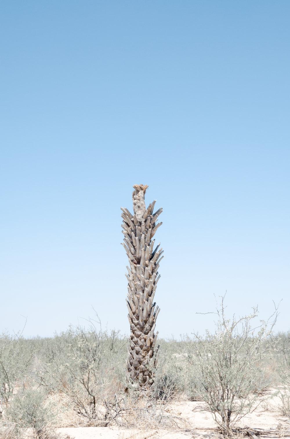 palma-datilera coahuila(1).jpg