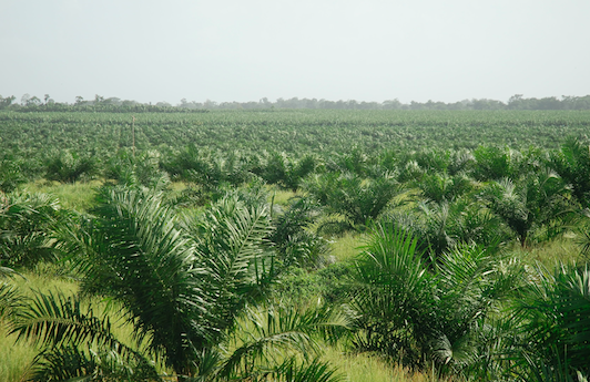 The Guardian - Palm oil firms in Peru plan to clear 23,000 hectares of primary forest