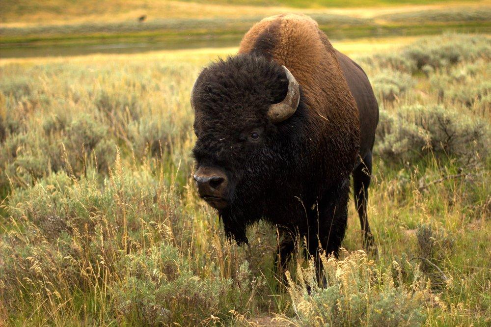 Buffalo in field