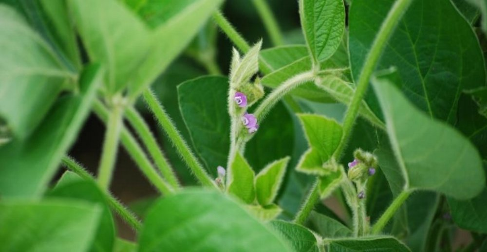 soybean_flowering.jpg