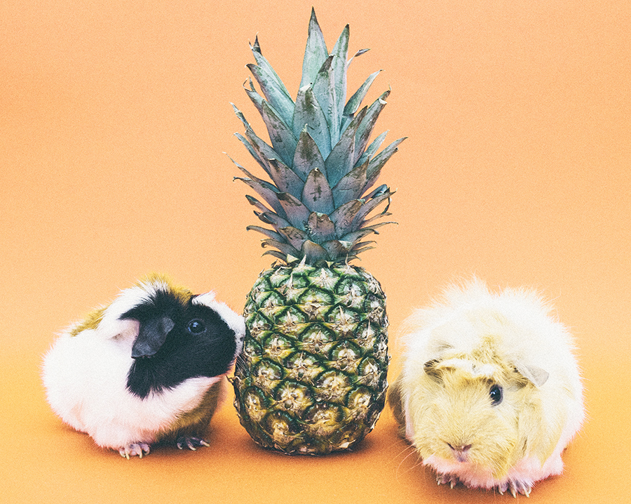 pineapple-guinea-pigs-sm.jpg