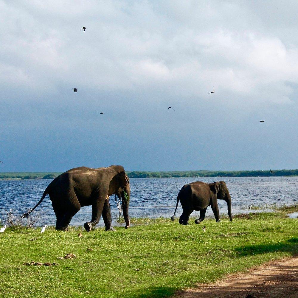 July 11 - Morning at LeisureGame drive at Udawalawe National ParkWaterbirds and ElephantsOvernight: Udawalawe @ Grand Udawalawe Safari Resort