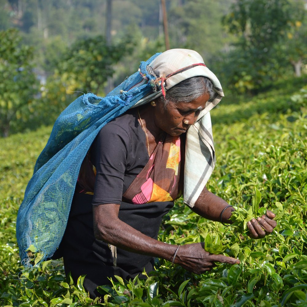 July 9 - Train ride to the quaint hill town of Nuwara EliyaVisit a working tea plantation and enjoy a tea tastingOvernight: Nuwara Eliya @ Jetwing St. Andrew's