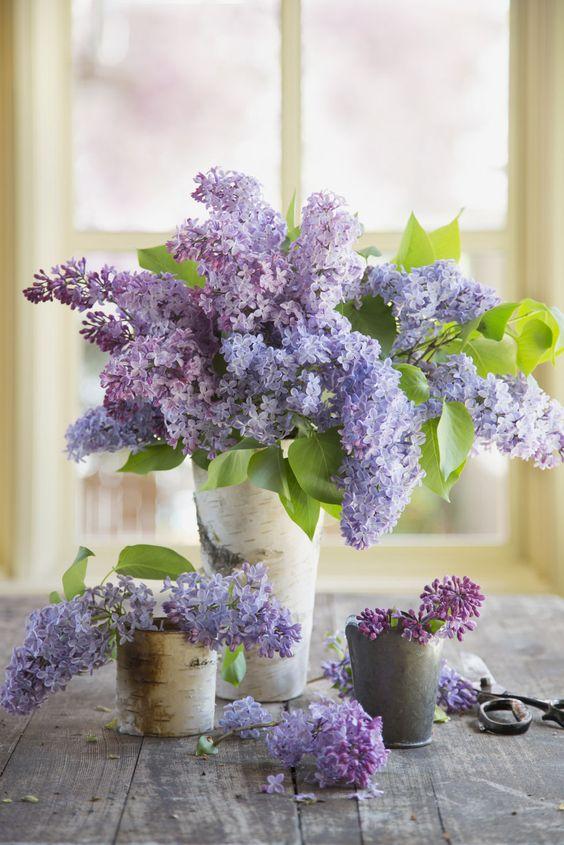 lilac 2.jpg