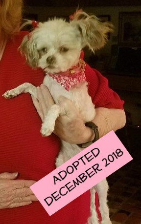 Sugar & Spice - Sugar came to us from the City of Bakersfield Animal Care Center on November 29th. She is a 2 year old White and Gray Shih Tzu/Poodle Mix. This sweet girl was a matted mess that was scared of just about everything. She is currently in foster learning how to be a dog.