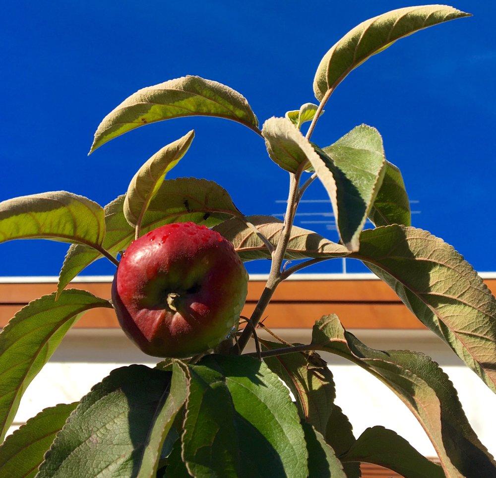 Apple tree 2.jpg