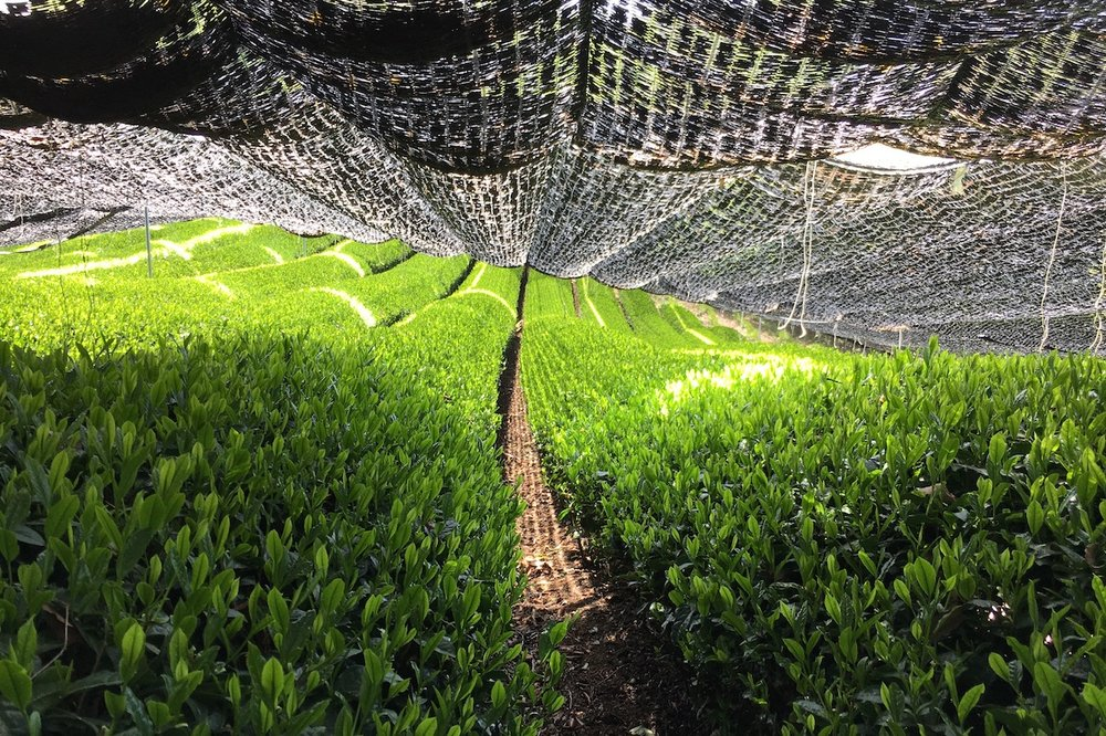 Shading the tea plant prior to harvest.