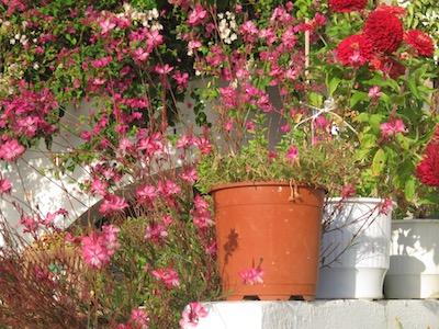 red flowers Loutro.jpg