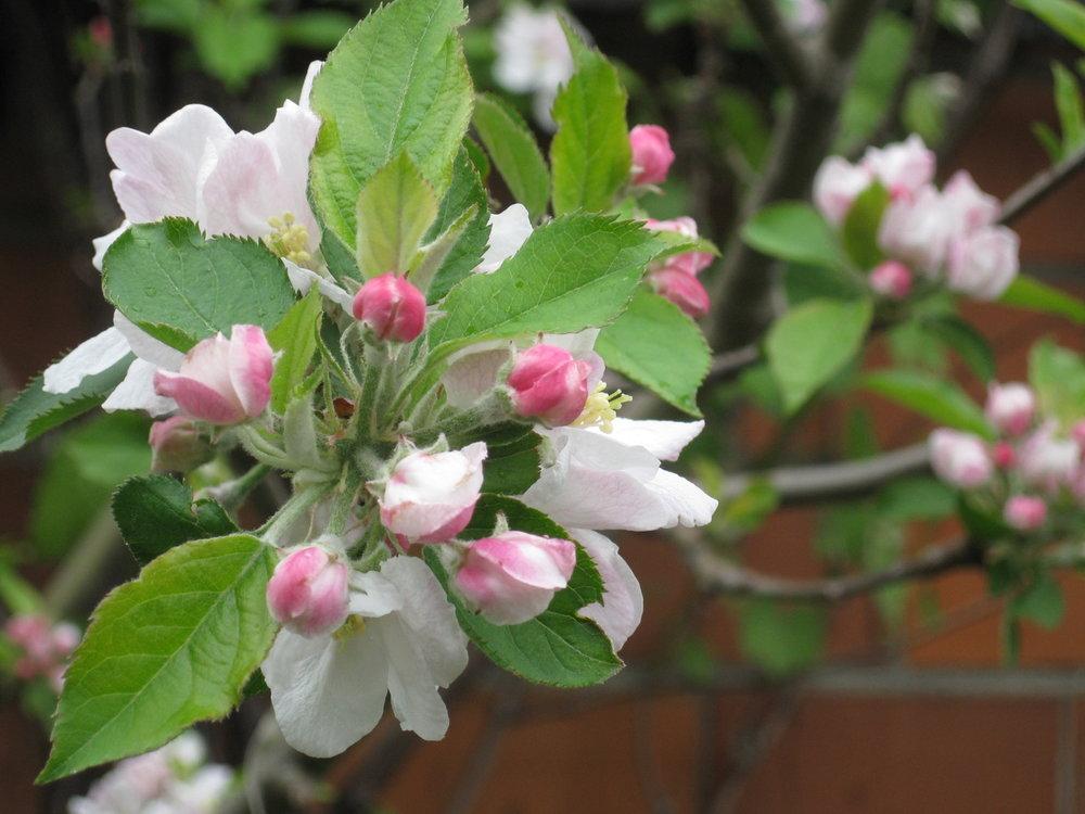 apple blossom.jpeg