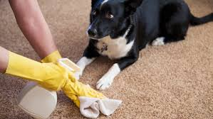 wright clean )pet stains lady with gloves.jpg