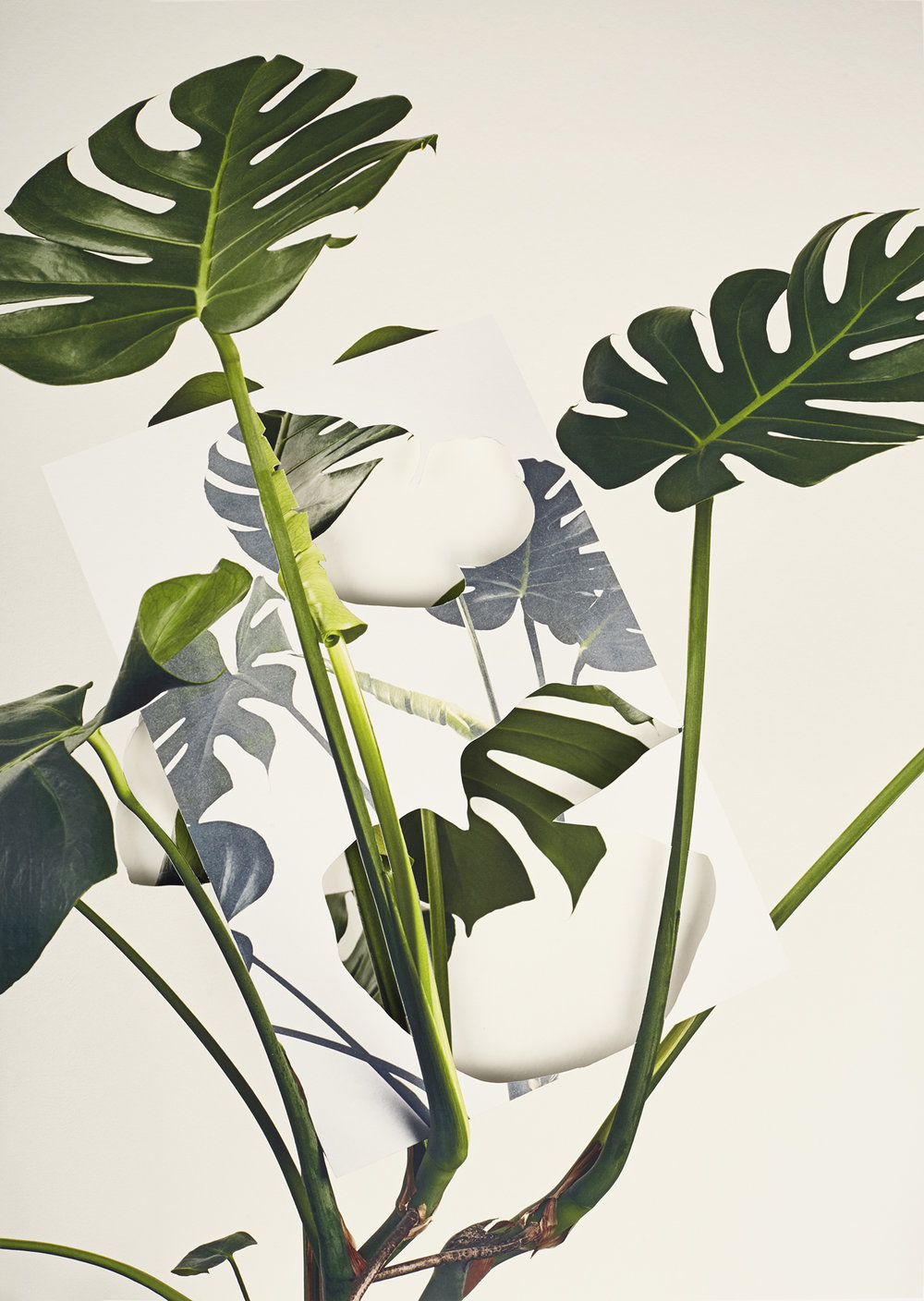 Alma Haser,  Monstera Deliciosa , 2018  Layered and cut digital pigment prints (2 layers), 47 x 35 cm total (approx. 18.5 x 13.75 in), edition of 7   Inquire