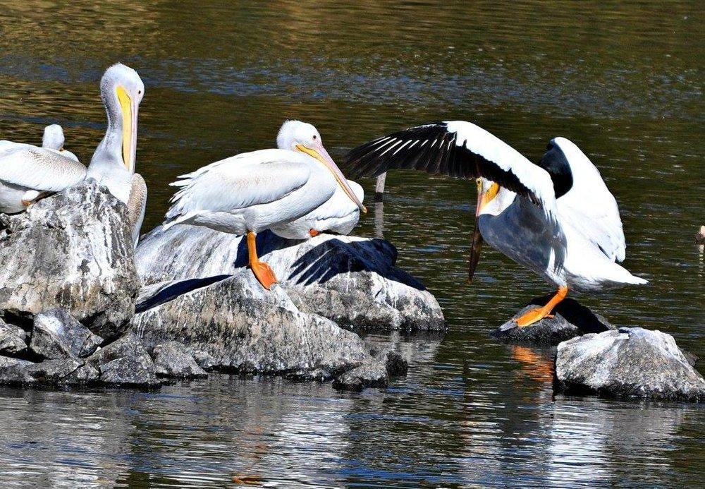 KF Pelicans (1).jpg