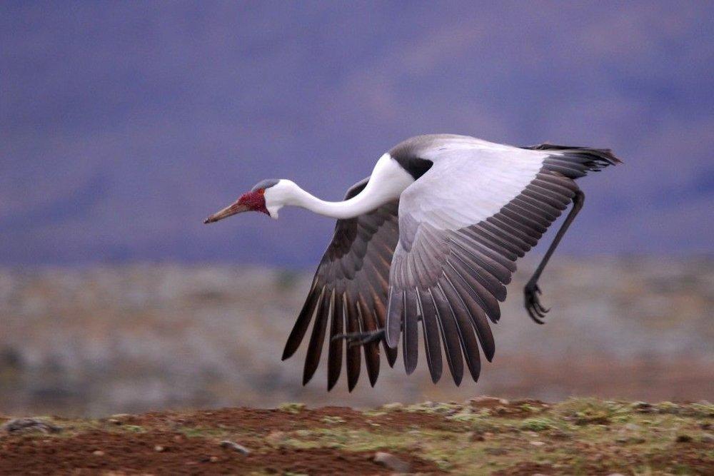 wattled crane.jpg