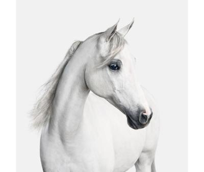 white-arabian-horse.jpg