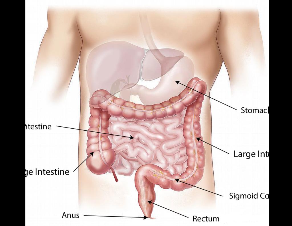 Gut Health Digestive System 101 Evolve Holistic