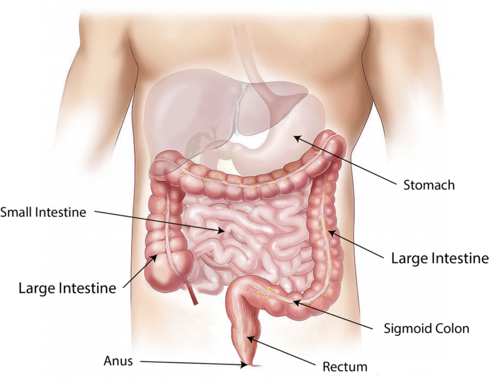 digestive-system-1024x794.png