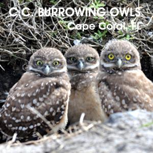 owls 3 300.JPG