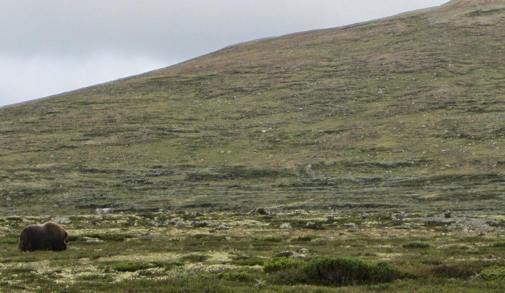 Musk-oxen in Kongsvoll, Dovrefjell