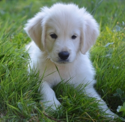 retriever puppy.jpg