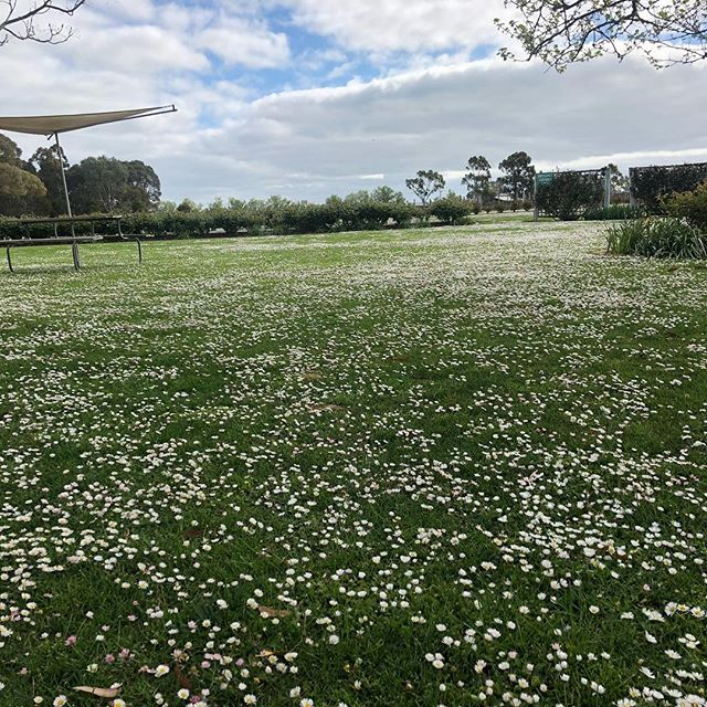 A sea of daisies at Balnaves Coonawarra today