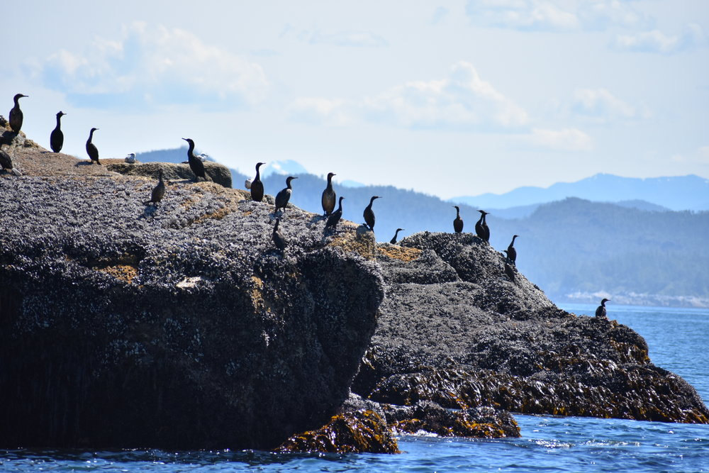 Pelagic Cormorants in Queen Charlotte Sound.