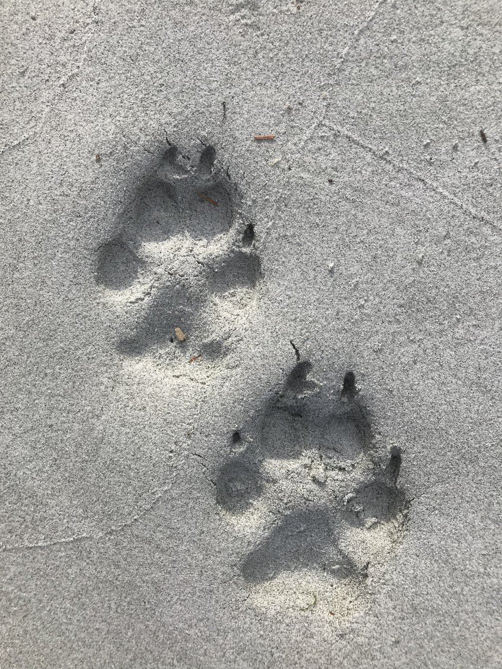 Wolf tracks in the sand.