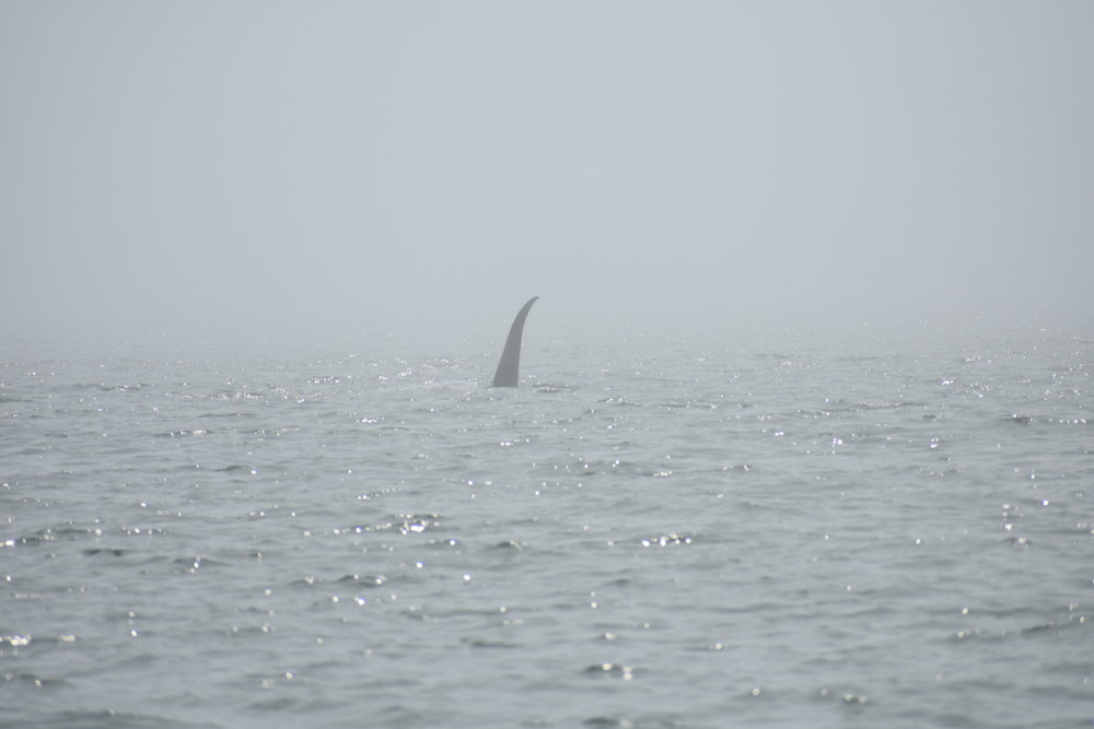 Orca in the fog.