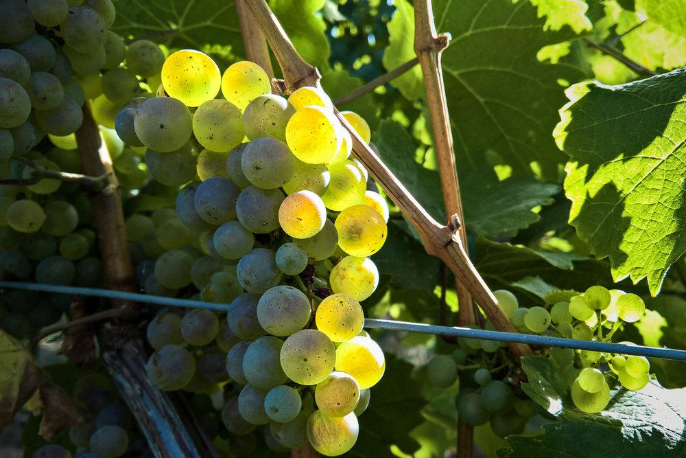 vsb_white_wine_beechworth_01.jpg