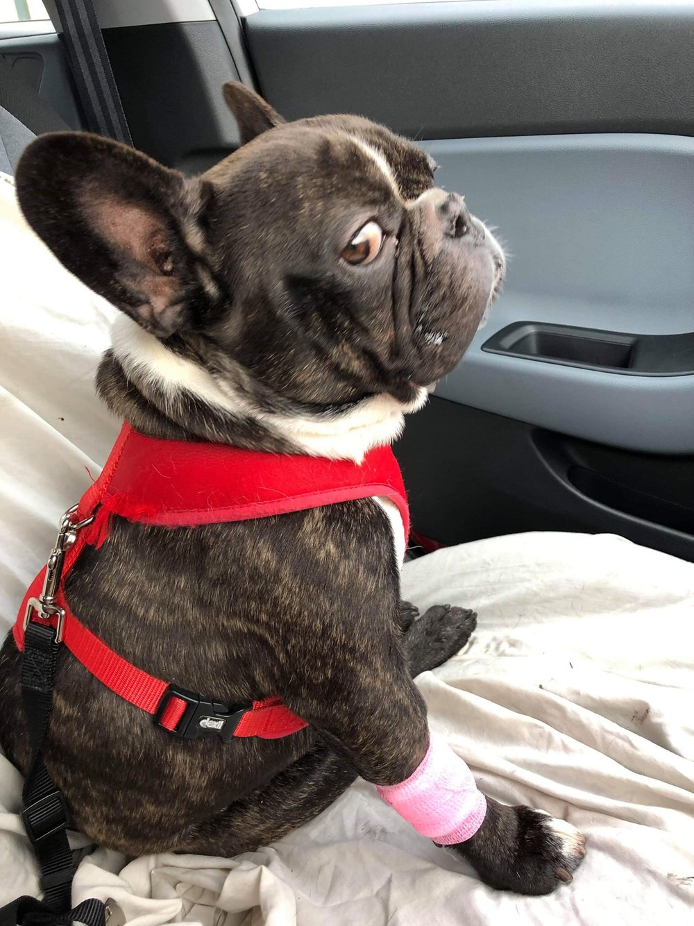 🐶Adoption Post🐶 - Age - 3 years 2 monthsAdoption Fee - £350Hello everyone, I'm Elfie and I'm looking for my happy ever after. I have been with FBS for some time now and have recently had life changing surgery (BOAS)I like food, sofas, beds and anything I'm not supposed to jump up on.I love everyone and will always seek attention. My favorite is to snooze on the sofa, chew a tennis ball or two! and of course road trips!Because I love my food soo much, I really don't like to share so for this reason the ladies at FBS think I shouldn't be little ones, older kids best.I'm not too sure about sharing my home with other dogs sofa now I'd like snuggles all for myself. Cats…well I don't I would like them either.If you think you are the perfect home for Elfie then please send an email to fbsapplications@gmail.comStating why we should choose you over anyone elsePlease also make sure that you have downloaded and submitted an application form into us.Please note that if you are contacted and short listed a home check is to be completed within a few days of initial contact and the successful candidate will need to be available for collecting the dog within 3/4 days of being toldIf you are unsuccessful we will email you to inform you so please don't worryGood luck everyonePlease also bear in mind that you will have to travel to Leeds to collect this boy.