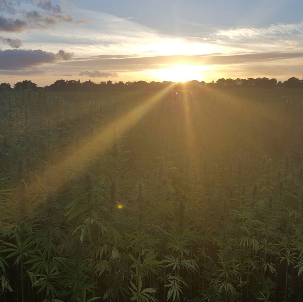 HEMP AS A SUPERCROP… COMING SOON -