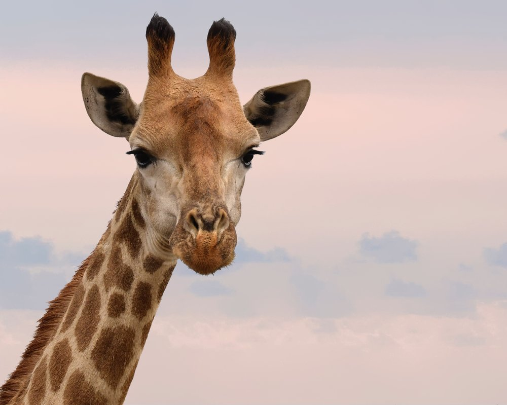 Will you help save me? - Now is the time to Stop the Silent Extinction of Giraffes #StandTallWithGiraffes