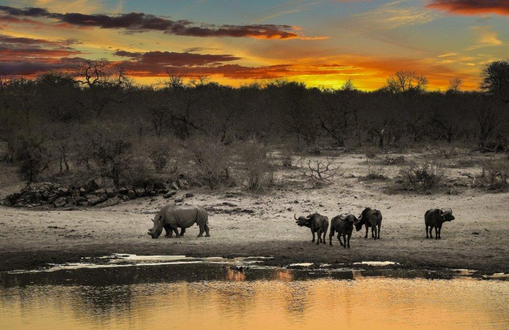 african-buffalo-animal-animal-photography-624063.jpg