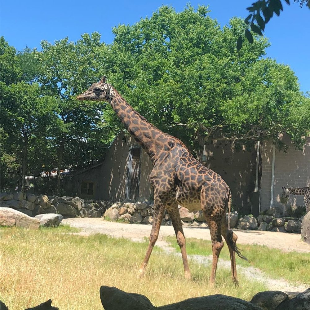 This is Jaffa, a male Masai giraffe at Roger William's Park Zoo.