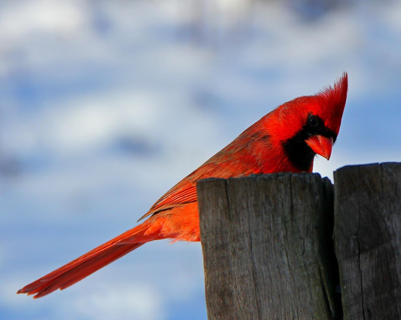 red bird-107802_1280
