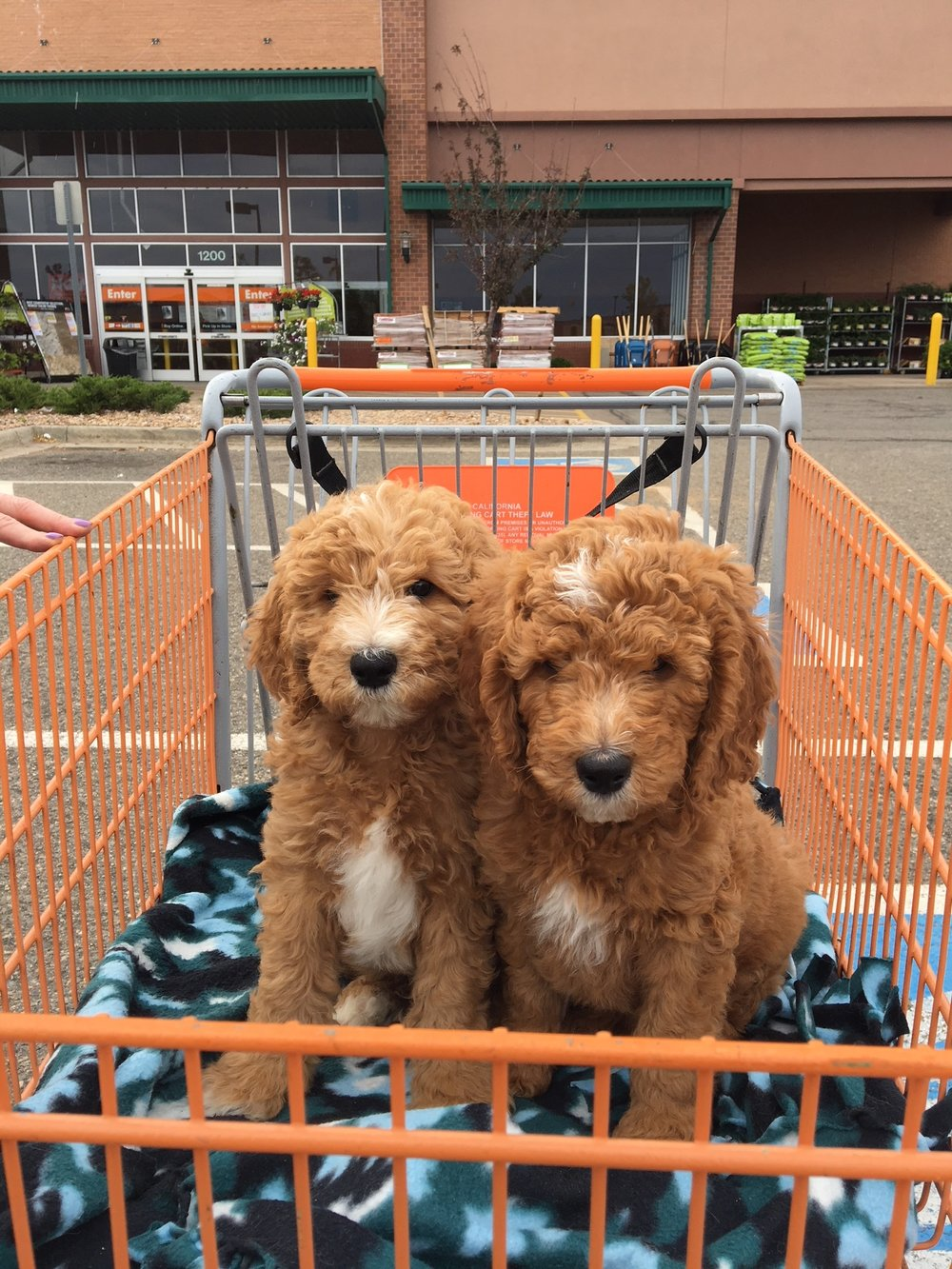 It's easy to take your pup to all sorts of stores in carts. In our experience, pups exposed to carts are comfortable later on around wheelchairs.