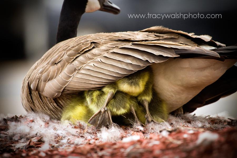 Geese032.jpg