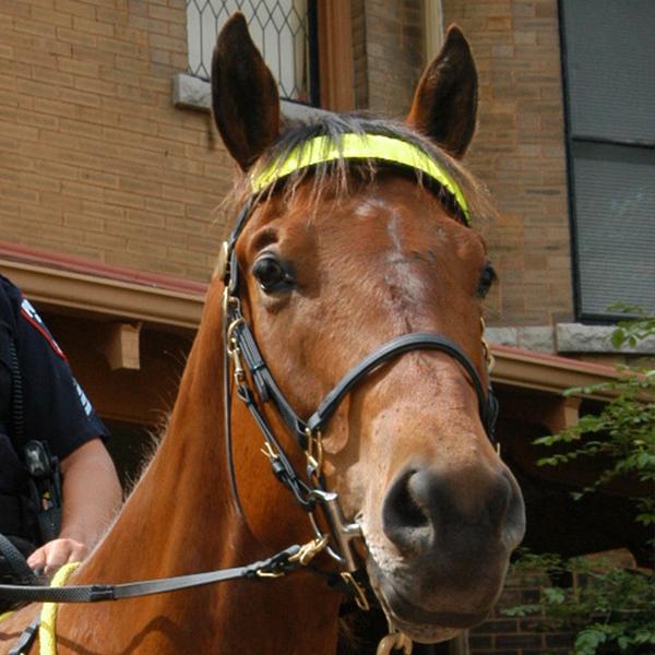 Police Horse Vegas, UW-Madison PD